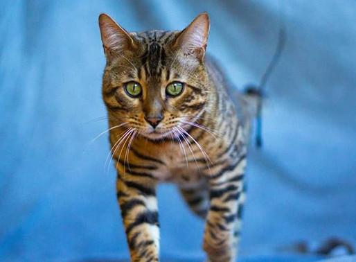 ¿Por qué algunos criadores de gato bengalí venden a sus gatos castrados?