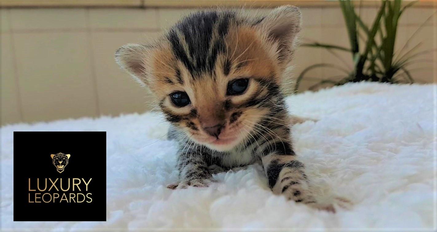 Gato bengalí manchas leopardo