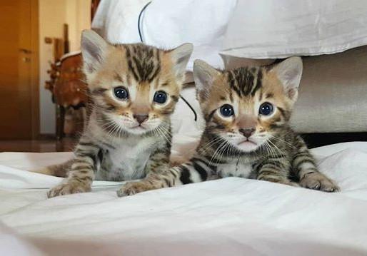 Transición del gatito bengalí a su nueva casa.