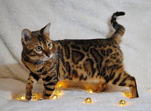 Salud del gato bengalí