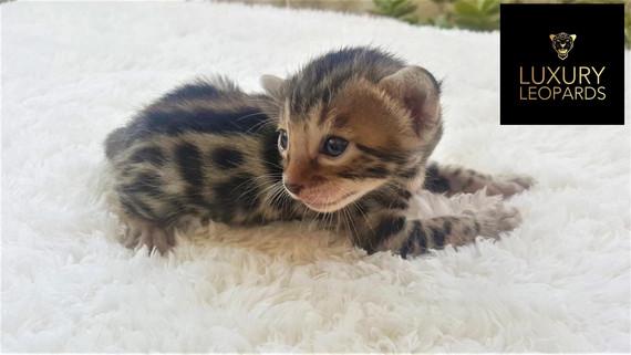 Mejores gatos bengalíes