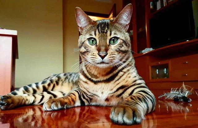 Cuidados de la raza de gato bengalí