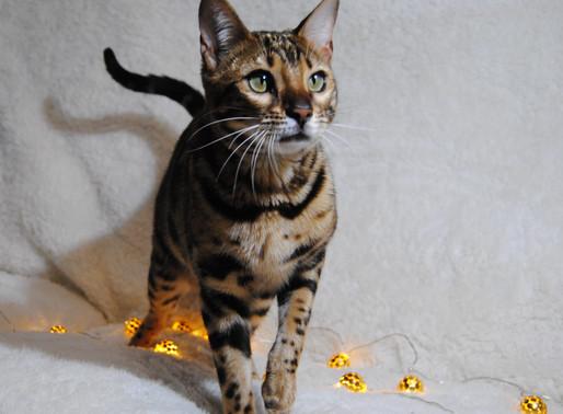 6 Cosas Que No Sabías Sobre los Gatos Domésticos