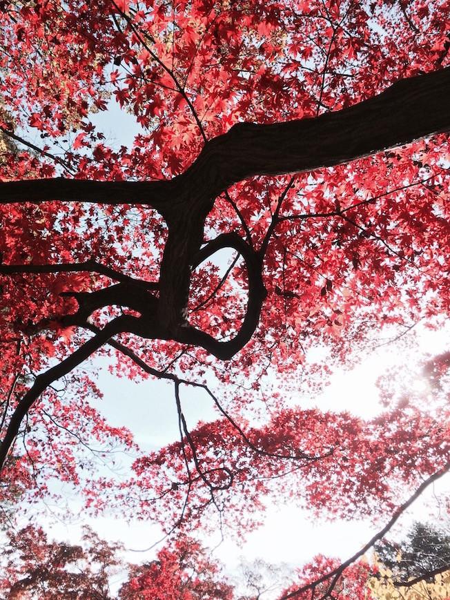 Tokyo, Japon, Créer réalité, erable arbre, automne, aude lechrist, ascension