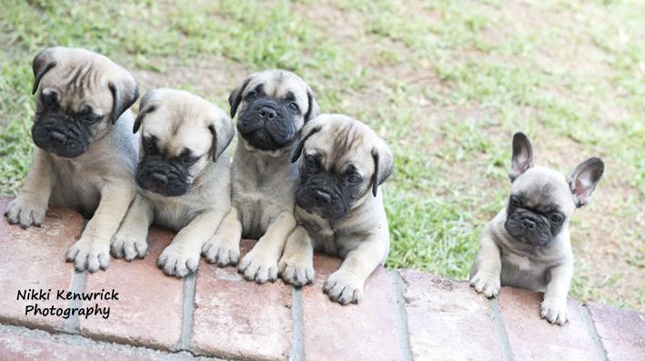 Opalguard Bullmastiff Puppies