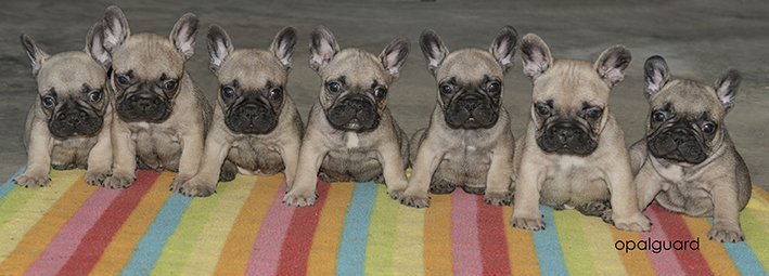 Opalguard Frenchie Litter at 6 weeks