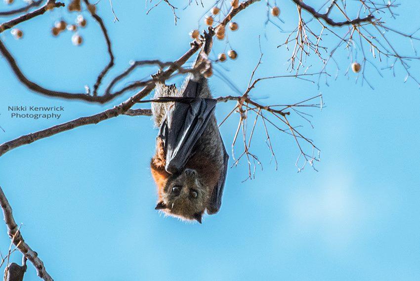 Fruit Bat in Tamworth - NSW
