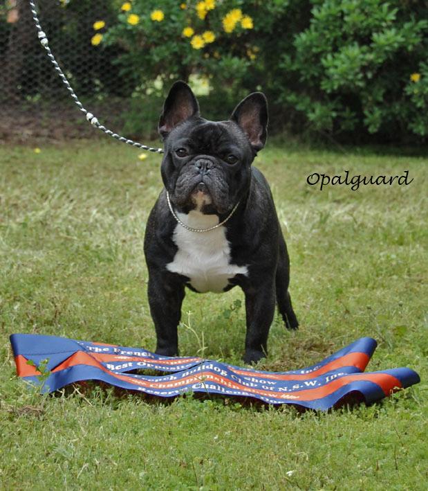 French Bulldog Specialty Winner