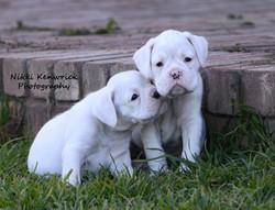 Beautiful White Boxer Pups