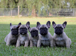 French Bulldog Litter 8 weeks