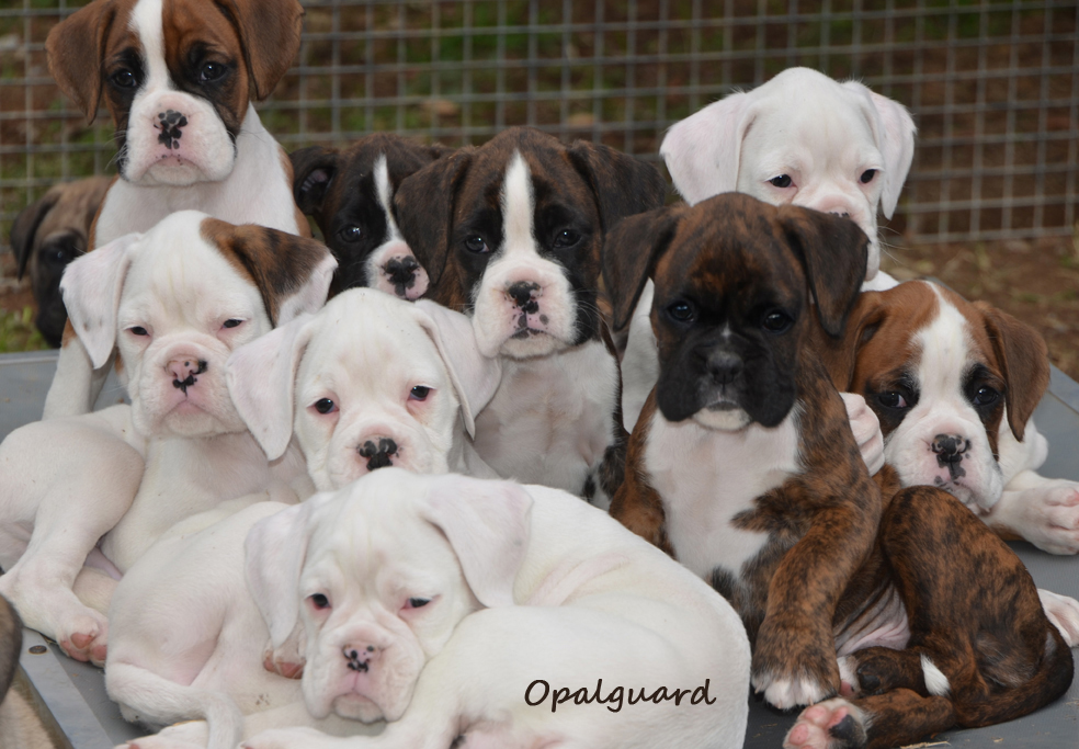 Boxer Babies