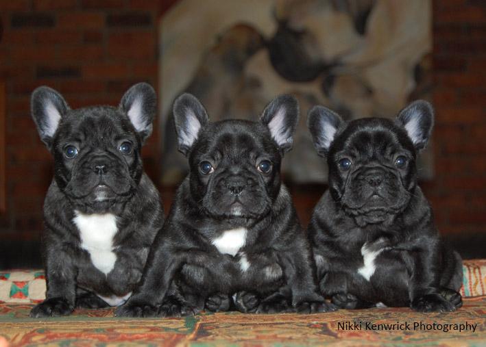 French Bulldog Puppies - 7 weeks