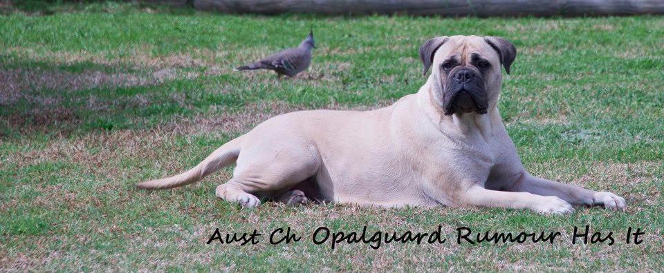 Aust Ch Opalguard Rumour Has It