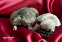 French Bulldog Baby Girls