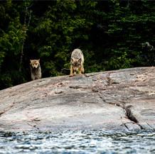 wolves_0002.jpg