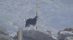 Follow the goats ..