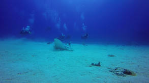 Eagle Ray with fans.MP4