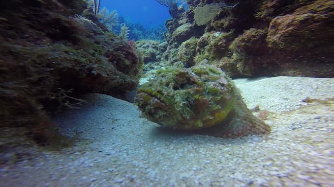 Scorpion Fish.MOV