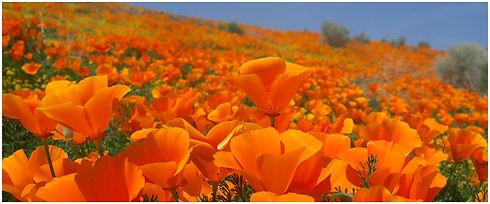 Poppy Field.jpg
