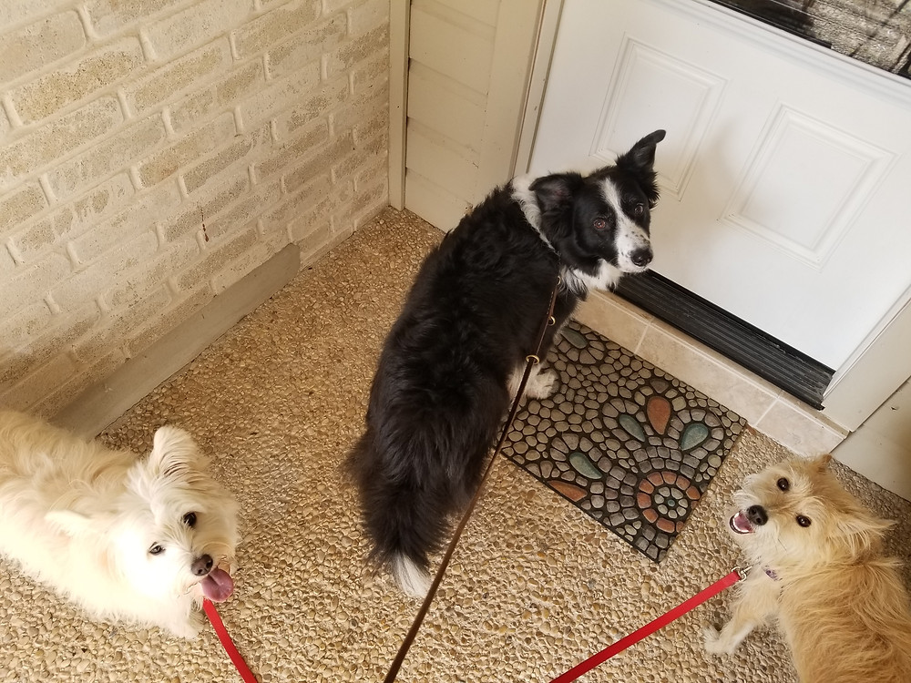 Wrangler loves to show the girls, Daisy and Luna around the block!