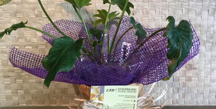 Zanadu house plant