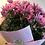 Thumbnail: Potted Chrysanthemum