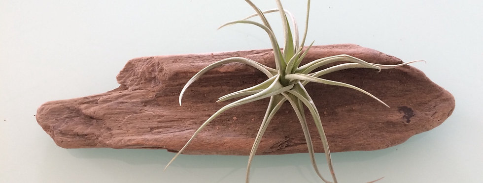 Airplant on driftwood