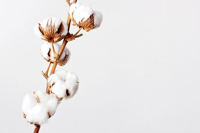 Cotton branch on white background. Delicate white cotton flowers. Light cotton background,