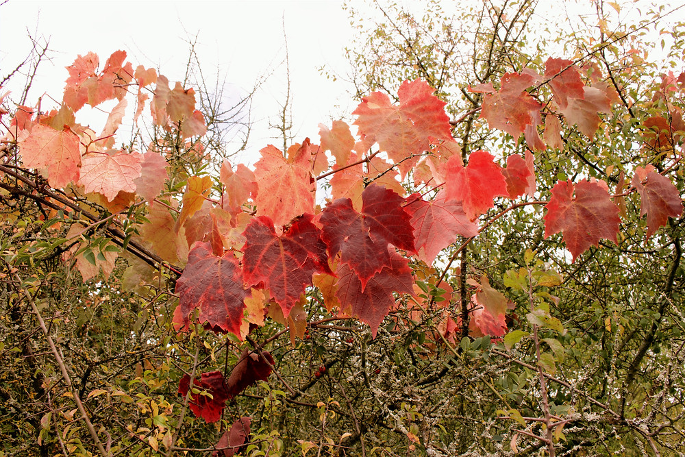 wine leaves in autumn