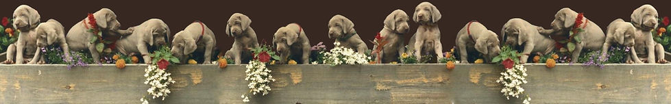 Puppies from Weimaraner Ways 2010 Special Edition Hardcover Book – Color by Virginia Alexander cover