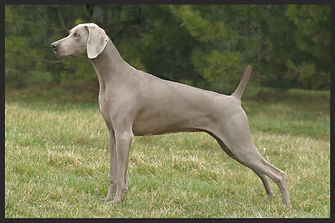 A Weimaraner pointing in a grassy yard