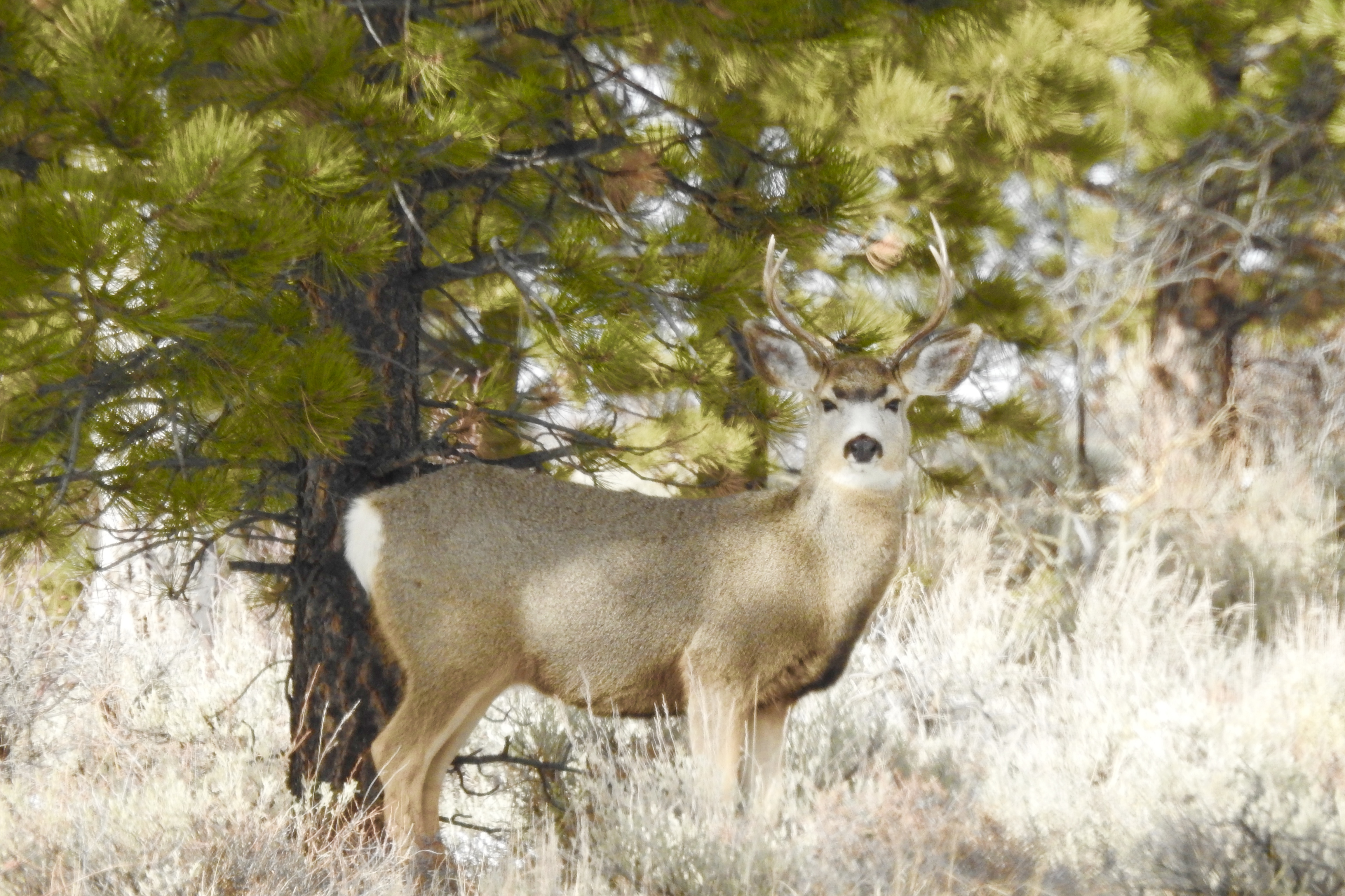 Flaming Gorge Buck