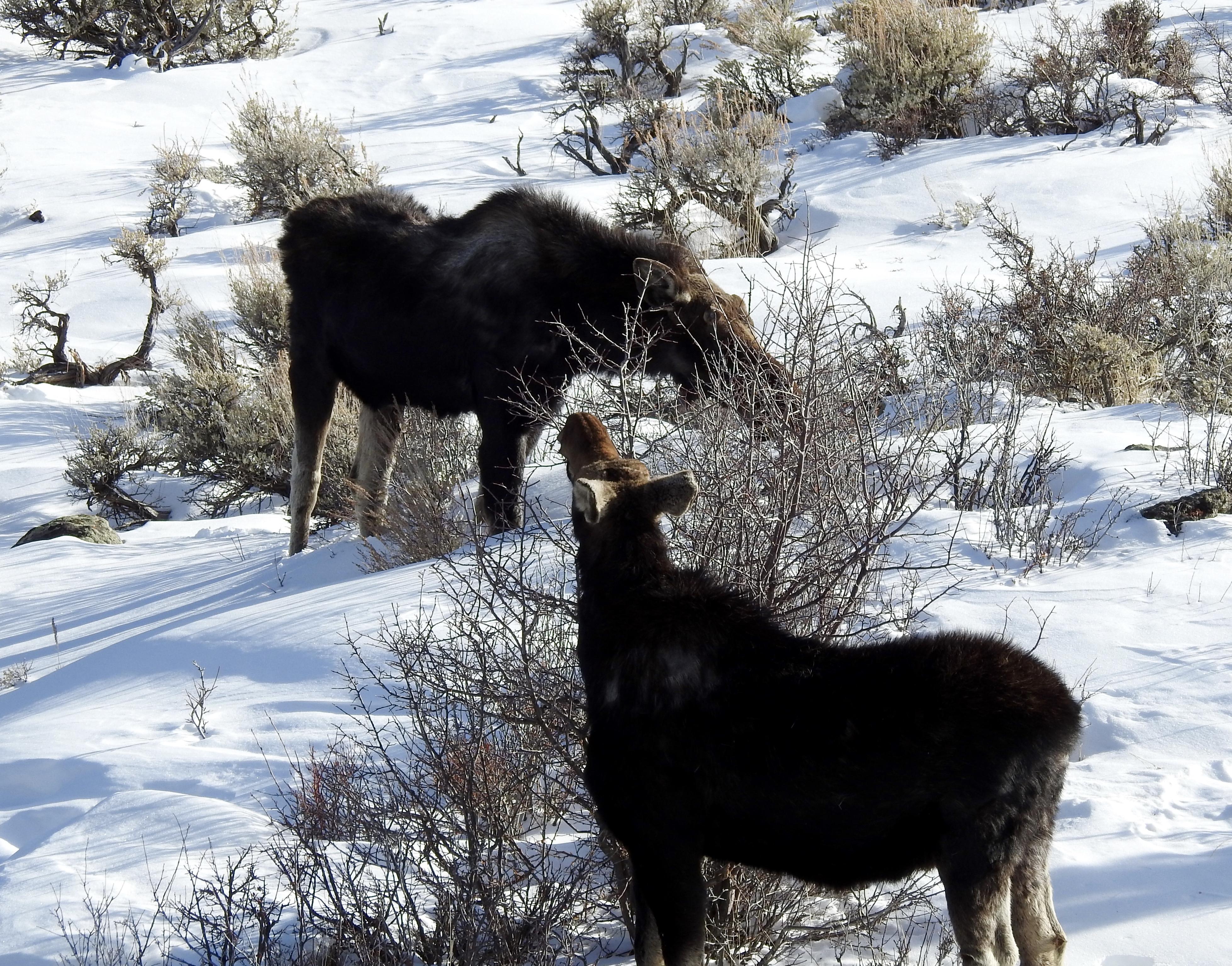 Flaming Gorge Moose