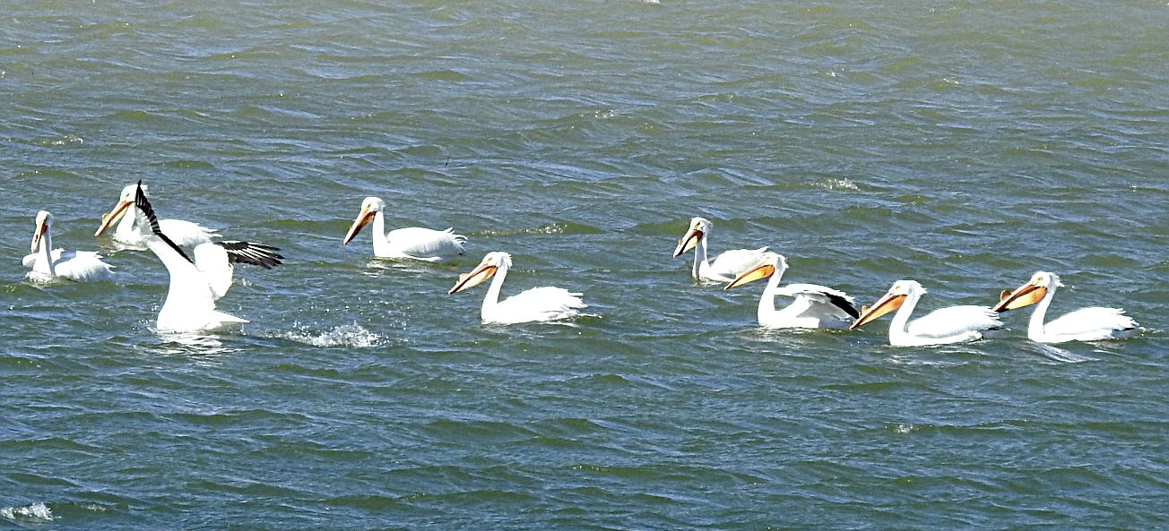 Flaming Gorge Pelicans
