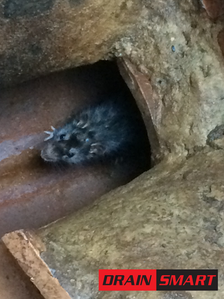 Rat seen in manhole chamber in Wandsworth, SW4