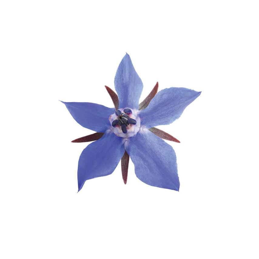 Borage Flower (Starflower)