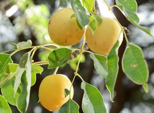 SKINGREDIENTS - Marula Seed Oil