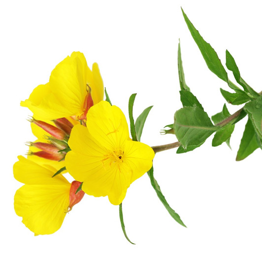 Evening Primrose Skin Care Benefits