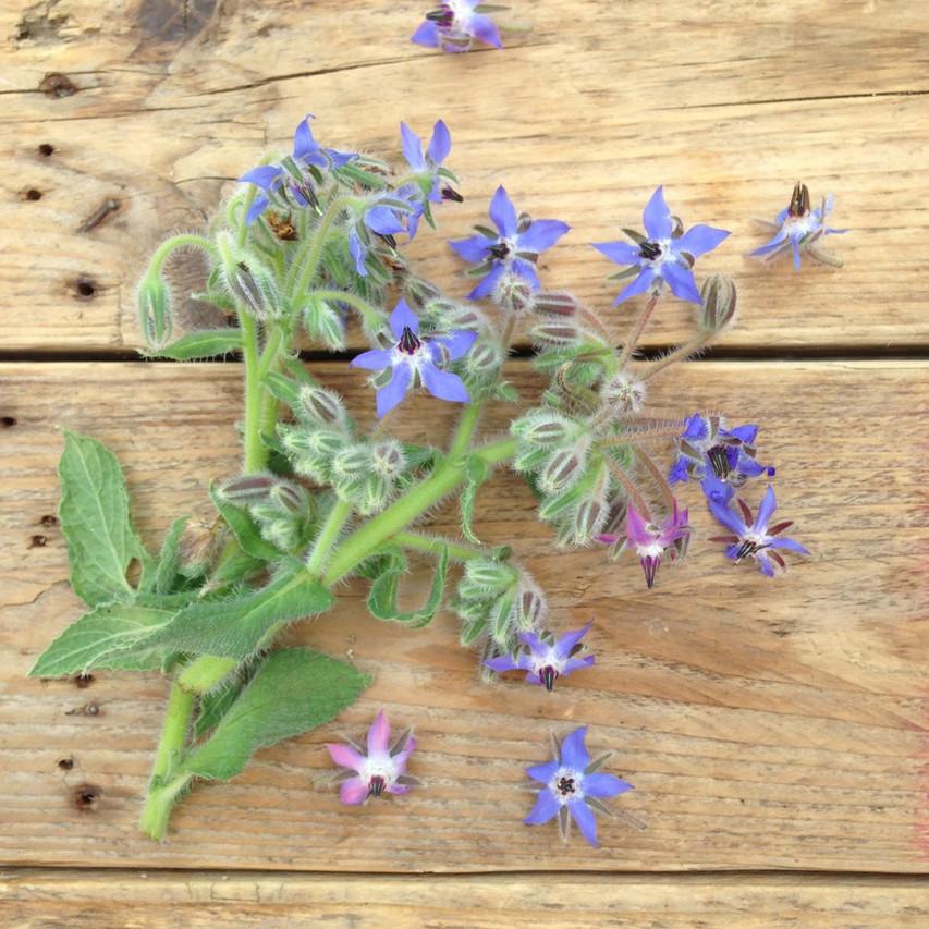 Borage (Starflower) Plant