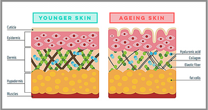 What is the difference between younger and ageing skin?