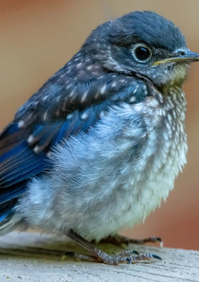 eastern bluebird fledgling