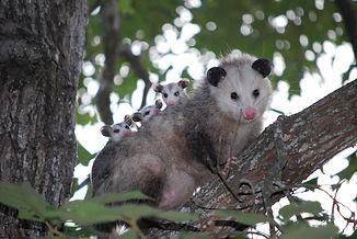 possum02.jpg