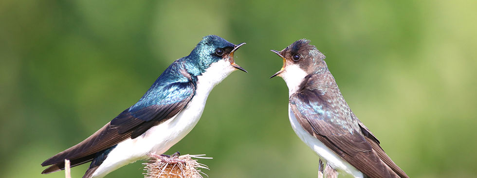 Two tree swallows talking to each other.