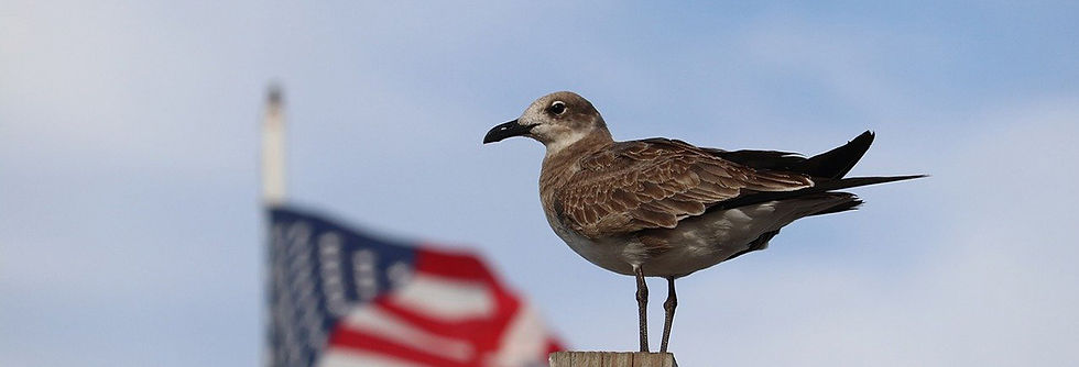 gull with an American flag