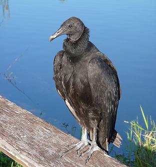 black vulture ©Ron Clark