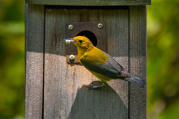 prothonotary warbler at its nest box