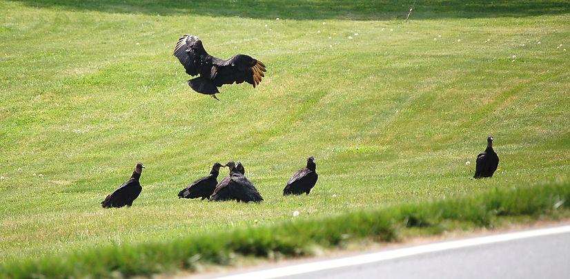 black vultures ©David Wright
