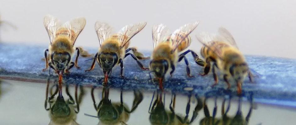 bees_drinking_02b.jpg