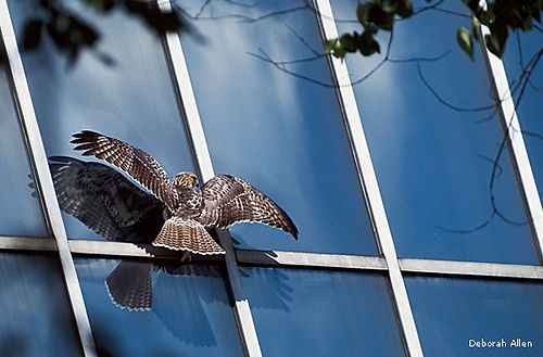 red-tailed hawk window
