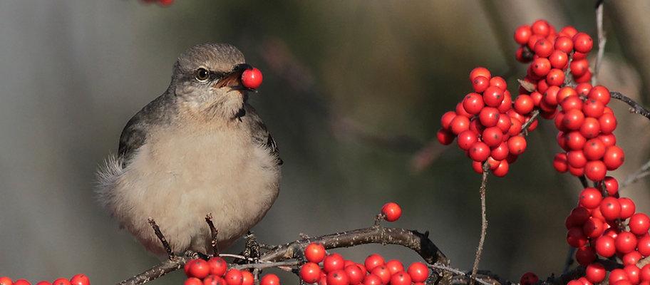 mockingbird_northern_21c.jpg